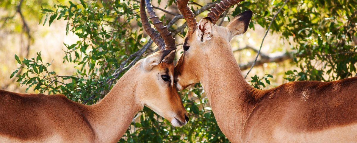 Antelope couple